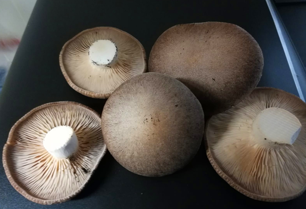 "Cultivated ""Cardoncello"" mushrooms"