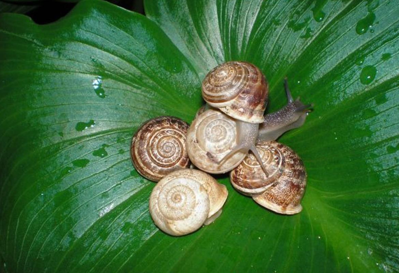 Helix Eobania Vermiculata